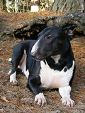 Black bull terrier resting in the forest