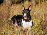Bull terrier at the field