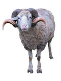 Sheep ram with horns