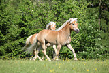 Two Haflingers Running