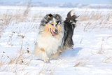 Running Scotch Collie In Winter