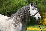Carthusian Horse The Purest Line Of Pura Raza Espanola