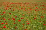 Poppys all over