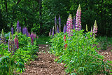 Rows of lupines