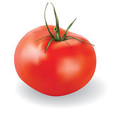 vector tomato isolated on white background