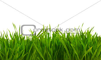 fresh spring green grass isolated on white background