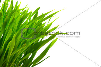 close up of green grass isolated on white with copy space