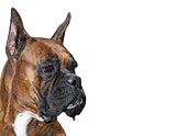 Boxer Dog