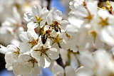 cherry-blossom honey bee collects