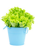 Lettuce in Blue Pot