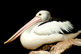 Australian Pelican.