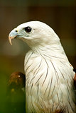 Brahmini Kite Eagle.