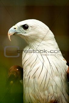 Brahmini Kite Eagle.