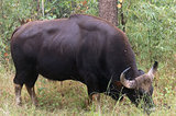 Indian Gaur`