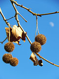 plane tree fruits with moon