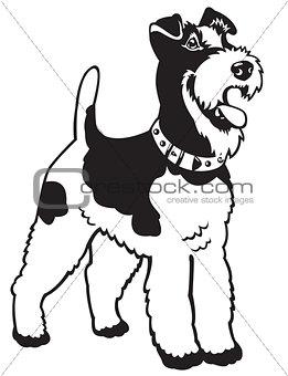 fox terrier black white