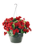 Hanging Begonias