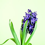 blue hyacinth 