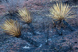 wildfire burnt yucca
