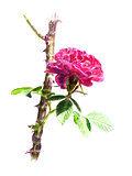 Red rose on a rosebush branch, isolated
