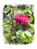 Red rose on a rosebush branch