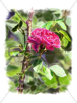 Red rose on a rosebush branch