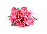 Pink Peony isolated