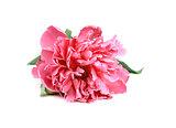 Pink Peony isolated