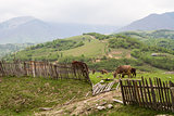 Cows graze in the green mountains