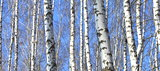 Birch wood