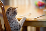Cat waiting for food sitting like man at table