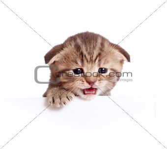 Scottish british baby kitten behind banner meowing isolated on w