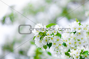 apple tree blossom branch macro
