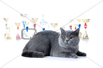 Champion cat with cups isolated on white