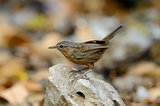 Limestone Wren Babbler (Napothera crispifrons calcicola)