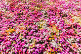 Flower bed of sunlit livingstone daisies