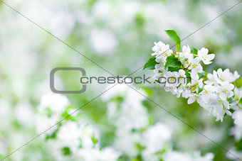 apple tree blossom branch macro