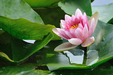 pink lotus
