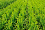 rice-field rows
