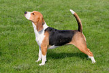 The typical Beagle on the green grass