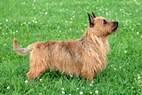 Australian Terrier dog 