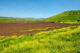 Vines of Golan Heights
