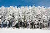 Line of Frosen trees