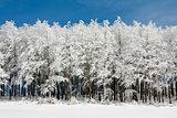 Line of Frosen trees