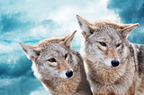 Coyote pair