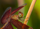 red dragonfly on a tree branch