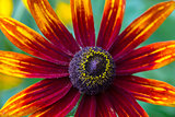 Coneflower (Rudbeckia)