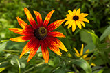 Flowers of Coneflower (Rudbeckia).