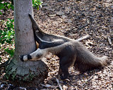 Giant Anteater