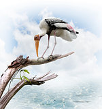 The Painted Stork (Mycteria leucocephala)